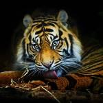 """""""Tiger, Tiger, Burning Bright"""" by Sparky2000"""