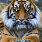 """Sumatran Tiger"" by Sparky2000"