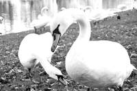 Swan Fiction