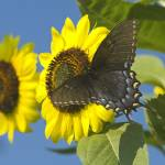 """""""Sunflowers Touched by a Butterfly"""" by tricia"""