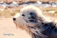 It was a windy day!  Hobbit, Bearded Collie blown