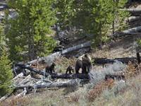 Grizzly Cubs and Mom
