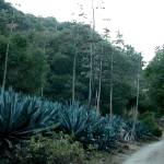 """Agave By The Road"" by infanteus"