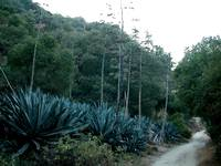 Agave By The Road