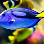 """Palette Tang Fish"" by johncorney"