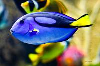 Palette Tang Fish