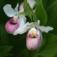Lady Slippers by Roger Dullinger