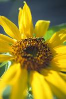 Sunflower and Bee 2
