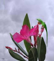 Anole and Oleander