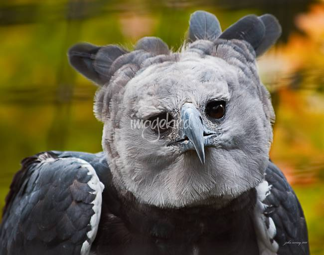 Stunning harpy eagle artwork for sale on fine art prints for Alex cherry eagles become wall mural