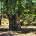 """Tree (T06619bc)"" by Arizona_Photography"