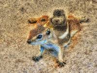 Ground Squirrel (J0011bc)