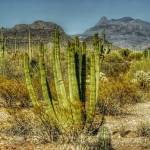 """Organ Pipe Cactus (T03386bc)"" by Arizona_Photography"
