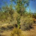 """Saguaro & Palo Verde (T03383bc)"" by Arizona_Photography"
