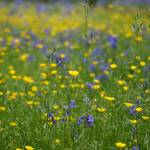 """Bluebells & buttercups"" by DPWphotography"