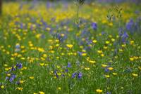 Bluebells & buttercups