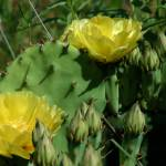 """Texas Yellow Rose and Cactus"" by BlackberryCottage"