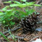 """Pine Cone"" by BlackberryCottage"