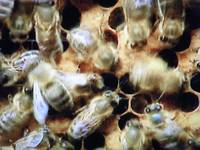 BEES on HDTV