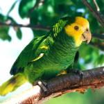 """Rare Amazon"" by parrots"