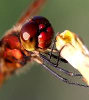 Friendly the photogenic Dragonfly