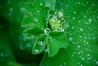 Morning Dew Drops