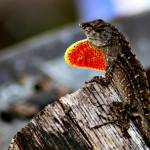 """brown anole"" by the_wilkie_way"