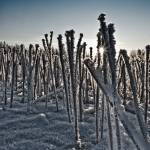 """Frozen Cane"" by signum"