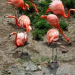"""Flamingos, an ariel view"" by LauraD"