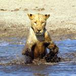 """Lioness playing in water"" by MichaelPoliza"