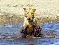 Lioness playing in water