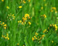 Yellow Wildflowers in a Green Field