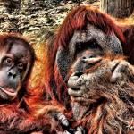 """""""Gorilla pair"""" by kathytarochione"""