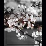 """Cherry Blossom      Double Border Edit 0183"" by BarbaraLin"