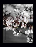 Cherry Blossom      Double Border Edit 0183