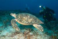 another Hawksbill turtle shot