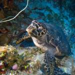 """nose-to-nose with a hawksbill turtle"" by hershmanphoto"