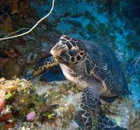 nose-to-nose with a hawksbill turtle