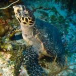 """""""Hawksbill Turtle"""" by hershmanphoto"""