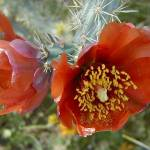 """Red Cholla Cactus Flower"" by cogdog"