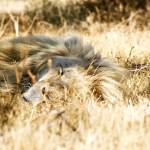 """Resting Lion 001 Johannesburg, South Africa"" by mariog"