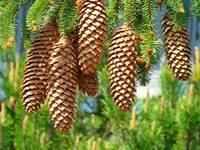 Pine Cones art prints Conifer Tree Golden Baslee