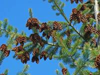 Forest Conifer Pine Cones Blue Sky Fine Art