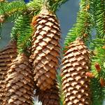 """Golden Pine Cones Art Prints Conifer Forest Baslee"" by BasleeTroutman"