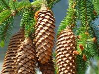 Golden Pine Cones Art Prints Conifer Forest Baslee