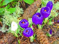 Pine Cones Purple Crocus Flowers art Prints