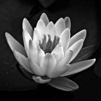 """Water Lily In Black And White ll"" by bavosiphotoart"