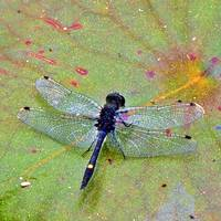 Dragon Fly On A Pad