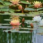 """Lily Pond"" by gailcorrow"