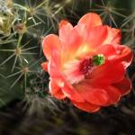 """Claret Cup Cactus"" by paulhood"